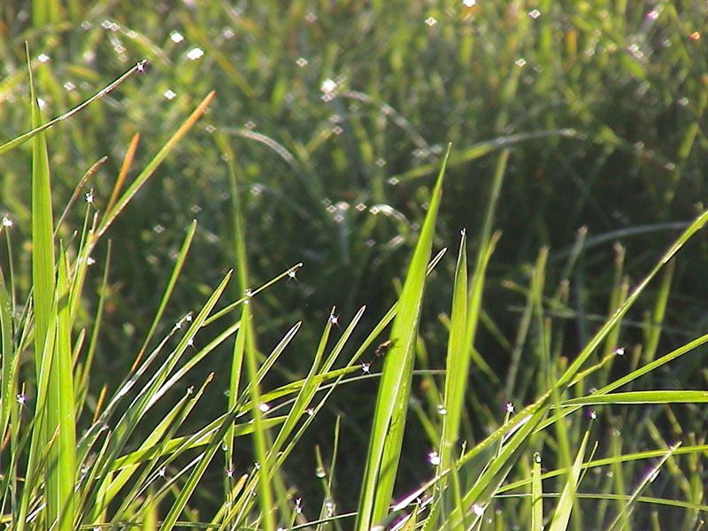 Rosée du matin : on ne peut pas tirer sur l'herbe pour qu'elle pousse !
